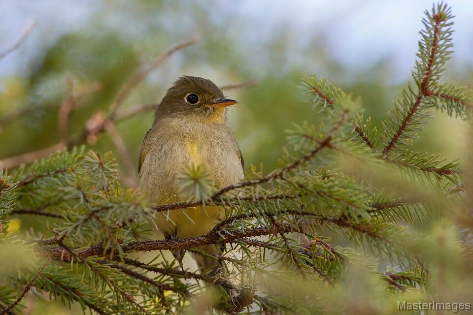I heard as Yellow-bellied Flycatcher as we paddled along the waterway which leads to the Boreas River. Image courtesy of MasterImages.org.