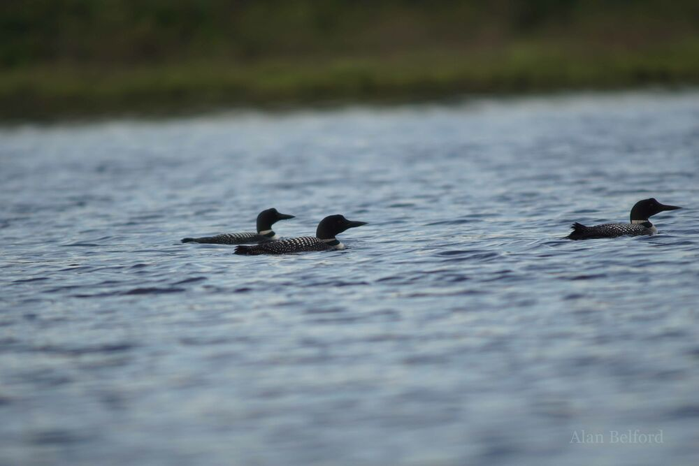 This trio of Common Loons put on a captivating performance.